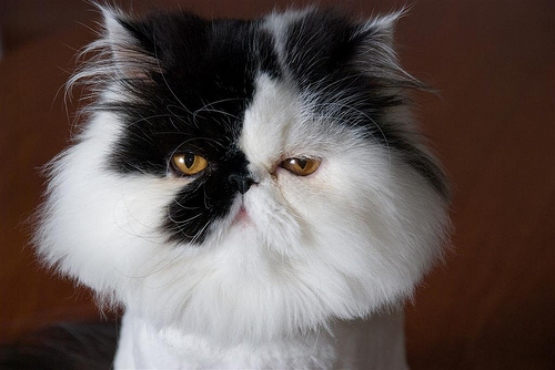 Cat , 7 Cool Persian Cat Haircuts : Black Persian Cat