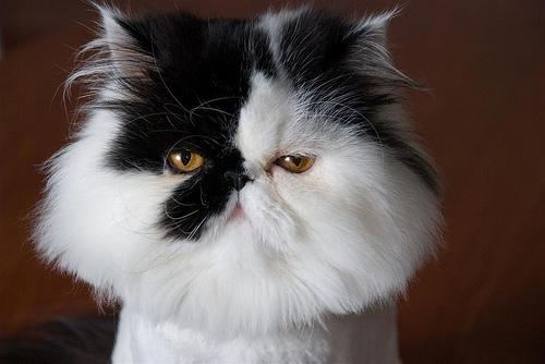 Cat , 7 Cool Persian Cat Haircuts : Black Persian Cat