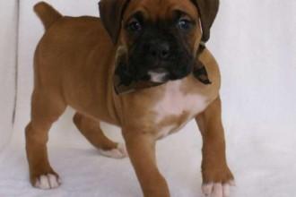 Boxer Puppies , 9 Amazing Boxer Puppies Spokane Wa In Dog Category