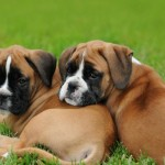 boxer puppies pictures , 9 Amazing Boxer Puppies Spokane Wa In Dog Category