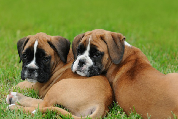 Buy Boxer Puppies For Sale In England UK