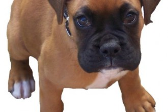 Boxer Puppies , 9 Amazing Boxer Puppies Spokane Wa In Dog Category