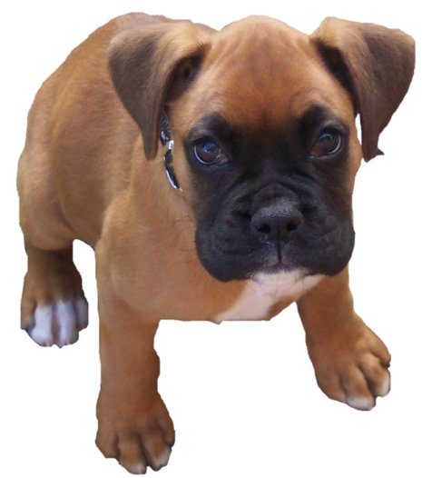 Dog , 9 Amazing Boxer Puppies Spokane Wa : Boxer Puppies