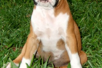 Boxer Puppy Images , 9 Amazing Boxer Puppies Spokane Wa In Dog Category