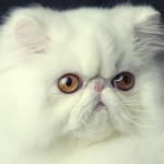 breed cat , 8 Charming Persian Cats San Diego In Cat Category