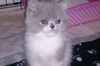 breed persian kittens in Butterfly