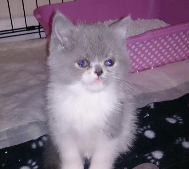 breed persian kittens