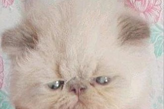 Breeders For Himalayan Kittens , 8 Fabulous Persian Cats Los Angeles In Cat Category