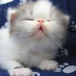 breeders persian kitten , 5 Good Persian Cat Breeder In Cat Category
