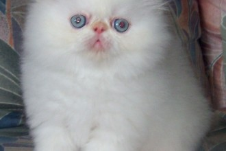 Breeds Himalayan , 8 Cool Persian And Himalayan Cat Rescue In Cat Category