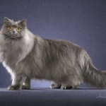 british longhair cat , 9 Cool How Much Do Persian Cats Cost In Cat Category
