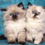 burmese cat , 8 Cute Persian Cat Behavior In Cat Category