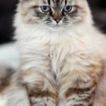 burmese cat , 5 Good Doll Face Persian Cats In Cat Category
