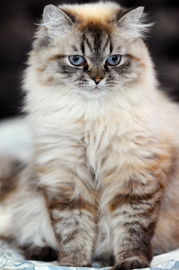 Burmese and persian cat