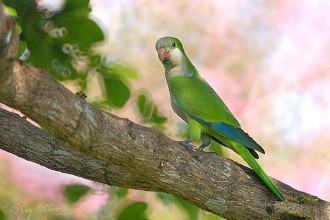 Canary For Sale , 7 Nice Quaker Parrots In Birds Category