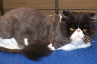 Cat Grooming  , 7 Good Persian Cat Grooming In Dog Category