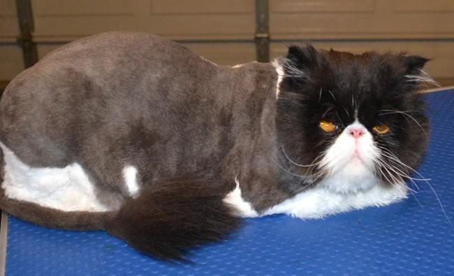 Dog , 7 Good Persian Cat Grooming : Cat Grooming