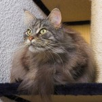 cat and kittens , 7 Nice Exotic Shorthair Persian Cat In Cat Category