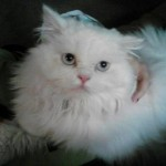cat breeds , 8 Lovely Persian Cat Breeders In Cat Category