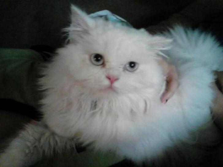 Cat , 8 Lovely Persian Cat Breeders : Cat Breeds