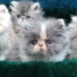 cat breeds , 6 Lovely Himalayan Persian Cats For Sale In Cat Category