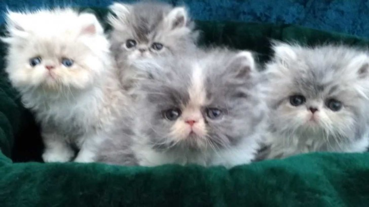 Cat , 6 Lovely Himalayan Persian Cats For Sale : Cat Breeds