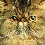cat fanciers , 9 Cute Persian Cat San Diego In Cat Category