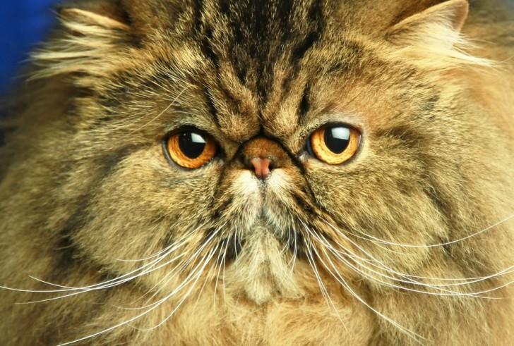 Cat , 9 Cute Persian Cat San Diego : Cat Fanciers