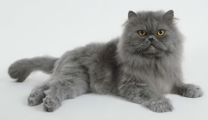 Cat , 8 Cute Grooming A Persian Cat : Cat Grooming
