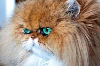 cat persian in Dog