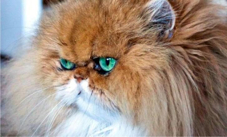 Cat , 8 Nice Persian Cat Shedding : Cat Persian