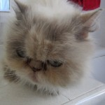 cat persian , 8 Cool Adopt A Persian Cat In Cat Category