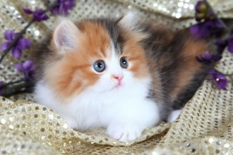 cat persian in Butterfly