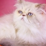 cat rescue , 9 Charming Persian Cat Rescue San Diego In Cat Category