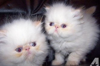Champion Bloodline Persian , 6 Lovely Himalayan Persian Cats For Sale In Cat Category