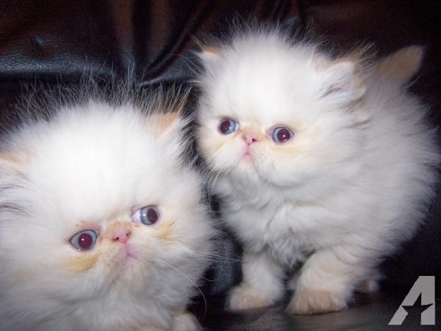 Cat , 6 Lovely Himalayan Persian Cats For Sale : Champion Bloodline Persian