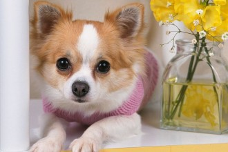 Chihuahua Pup , 9 Cute Chiuaua Puppies For Sale In Ohio In Dog Category
