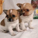 chihuahua puppies , 8 Cute Chiuaua Puppies For Sale In Pa In Dog Category