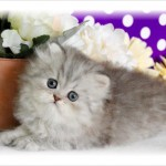 chihuahua puppies , 9 Charming Tea Cup Persian Cat In Cat Category