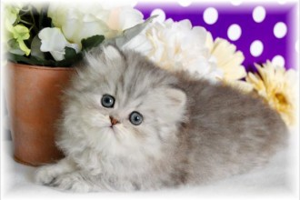 Cat , 9 Charming Tea Cup Persian Cat : chihuahua puppies