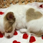 chihuahua sleeping , 8 Cute Chiuaua Puppies For Sale In Pa In Dog Category