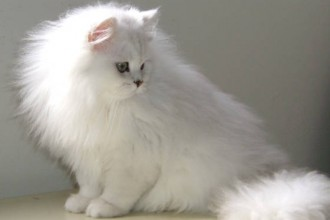 Chinchilla Coat For Men , 7 Charming Chinchilla Persian Cats In Cat Category