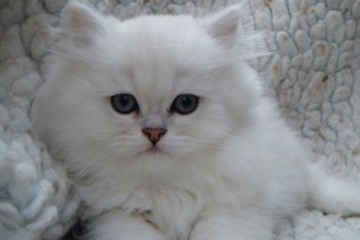 Chinchilla Persian Kittens , 8 Lovely Persian Chinchilla Cat In Cat Category