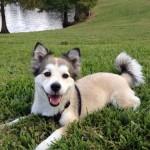 corgi husky mix , 9 Beautiful Siborgi Puppies In Dog Category