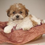 corgi puppies , 8 Cute Shichon Puppies For Sale In Nj In Dog Category