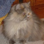 diego cats himalayan , 8 Cool Persian Himalayan Cats In Cat Category