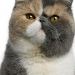 different breeds , 8 Charming Different Types Of Persian Cats In Cat Category