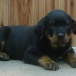 doberman female puppies , 7 Cool Kimbertal Doberman Puppies In Dog Category
