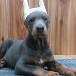 doberman puppies , 7 Cool Kimbertal Doberman Puppies In Dog Category