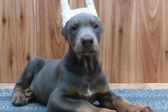 doberman puppies in Scientific data